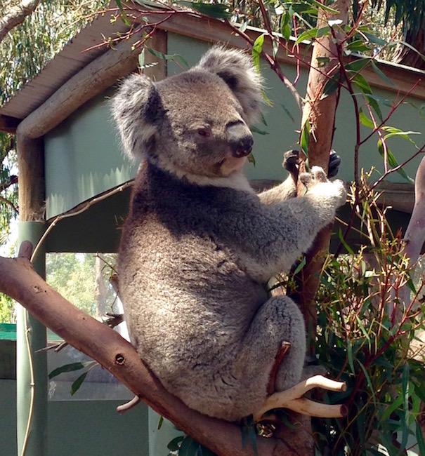 Cuddly Koala at the Moonlit Sanctuary