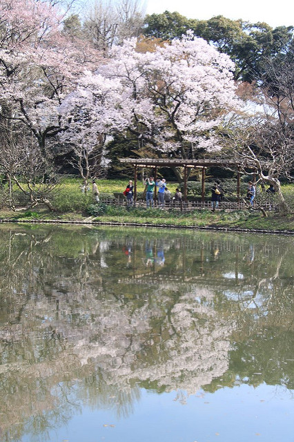 Beautiful cherry blossoms in the Imperial Palace Gardens