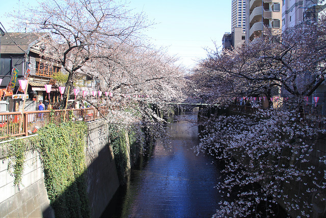 Canal in bloom in Naka-Meguro