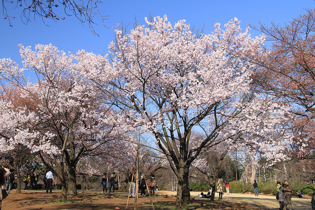 Cherry blossoms in Shinjuku Gyoen