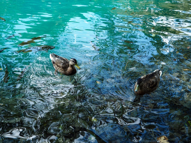 The luckiest ducks in the world!
