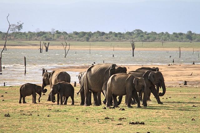 Elephant safari in Udawalawe National Park, Sri Lanka.