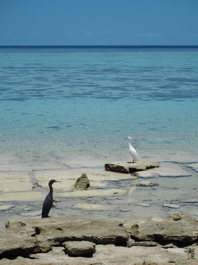 Herons on Heron island!