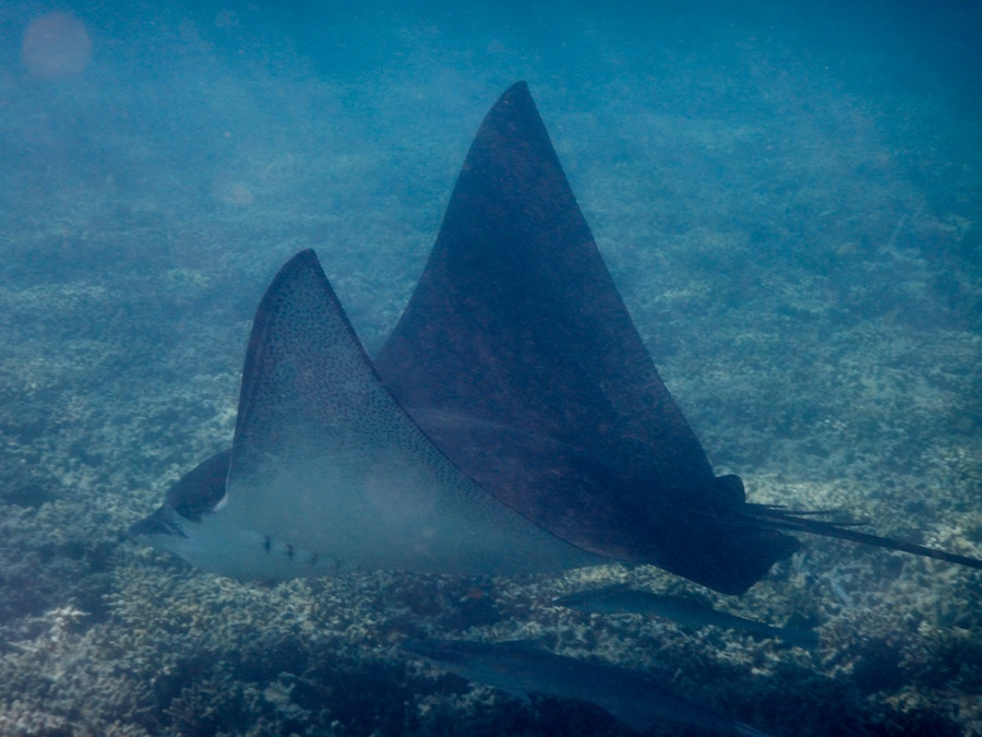 One of the many Eagle Rays we saw while snorkelling off the beach.