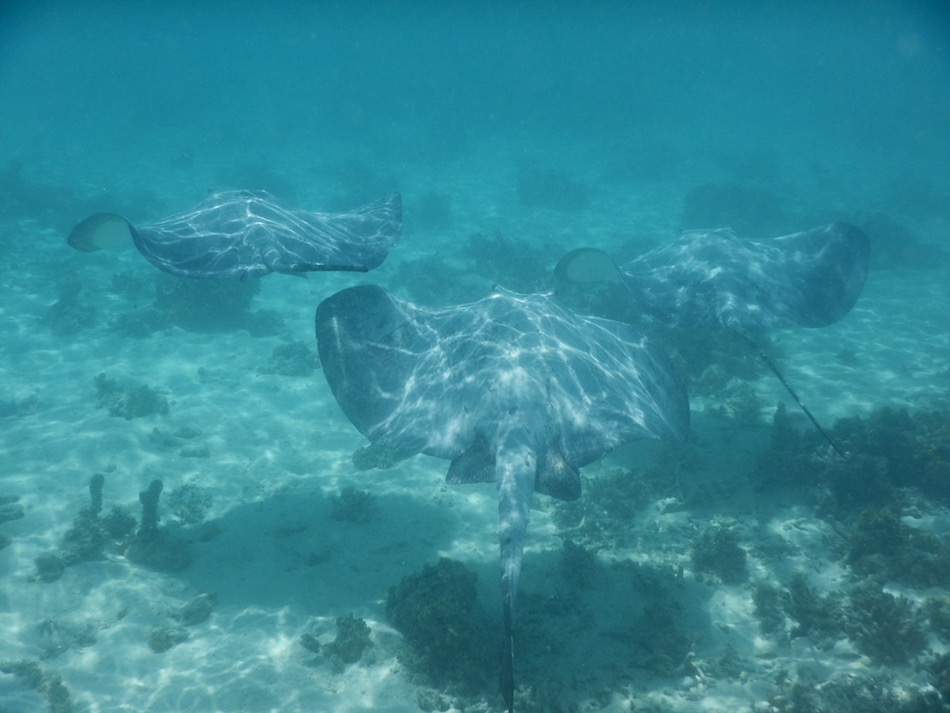 A school of Stingrays swimming.