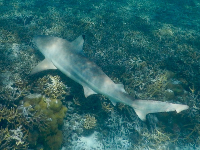 A black tip reef shark