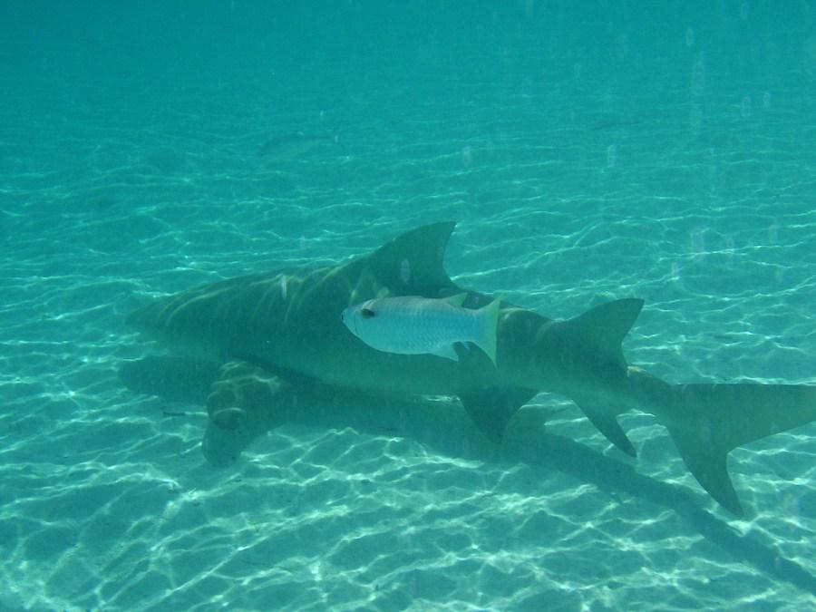 The lemon shark.