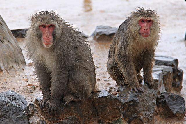 Wet monkeys!
