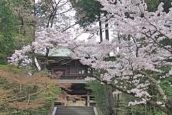 Sakura in Kamakura!