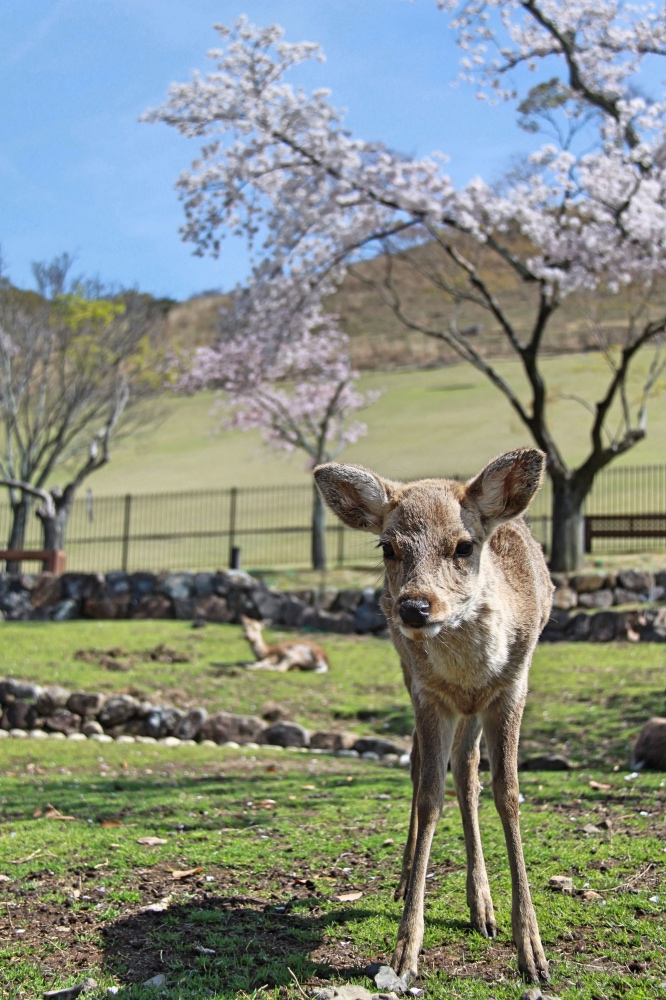 A young deer in the park.