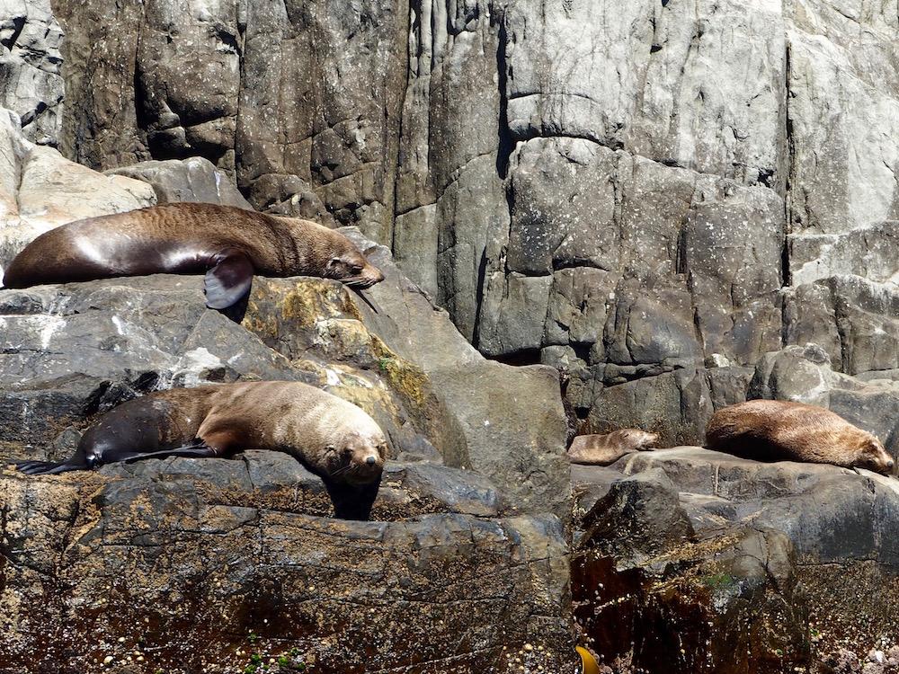 Some seals sleeping on Tasman Island.
