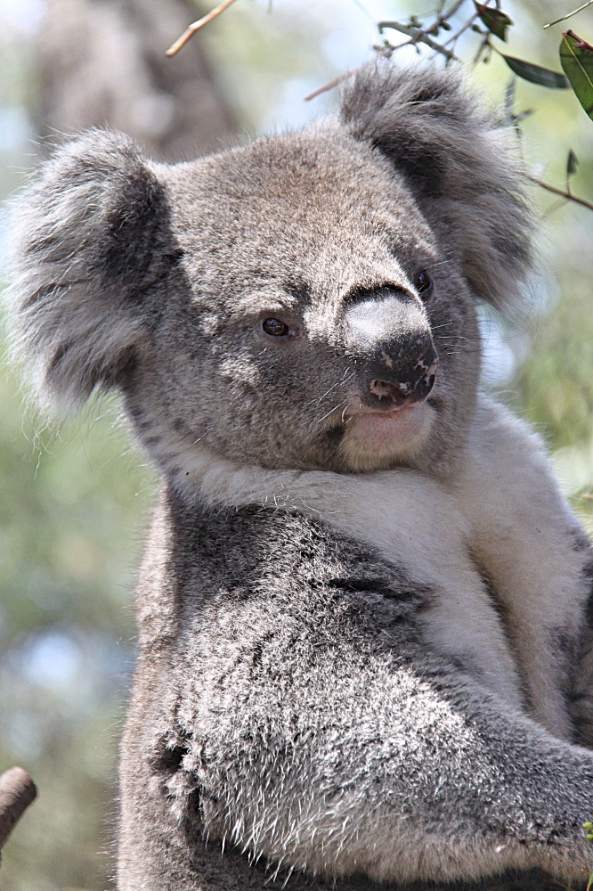A koala at Healesville Sanctuary, the best place to see Australian wildlife in Melbourne.