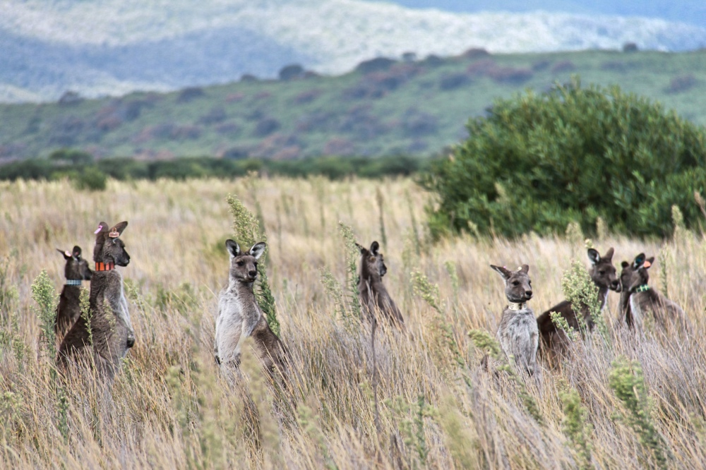 Some of the many roos we saw in the national park.