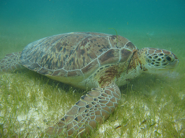 Snorkelling with the turtles in Akumal.