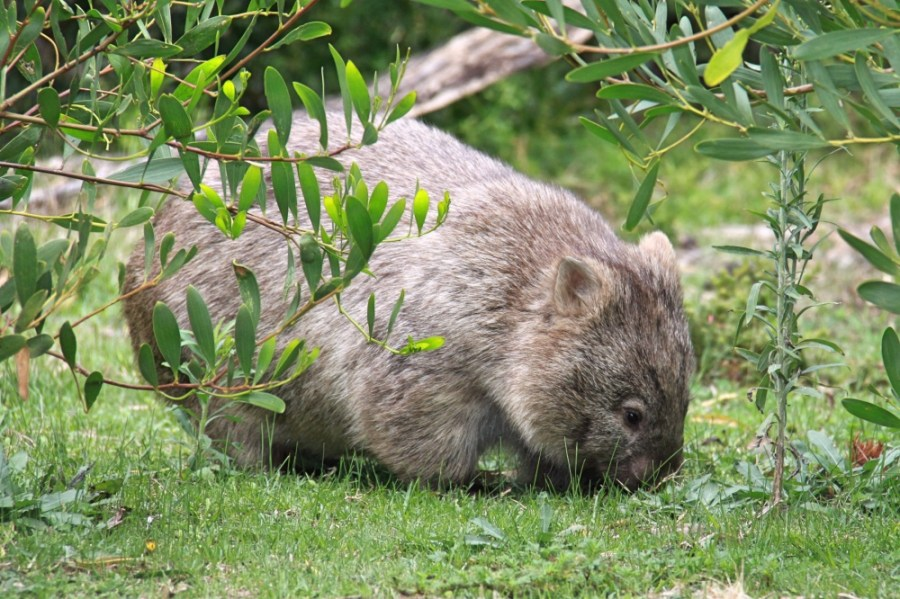 A wombat eating his dinner!