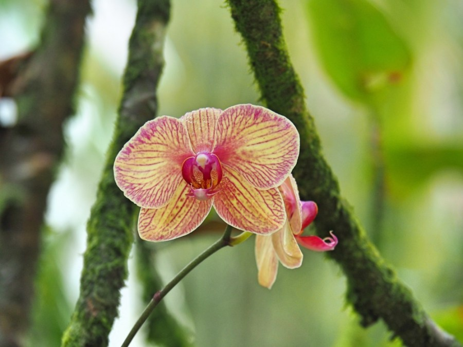 One of the many beautiful orchid in the Botanical gardens.