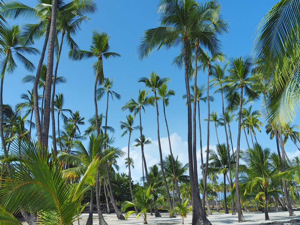 The many palm trees at the Pu'uhonua O Honaunau National Historical Park.