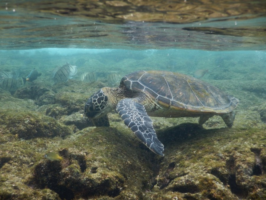 A turtle munching on the sea grass in Kahalu Beach Park