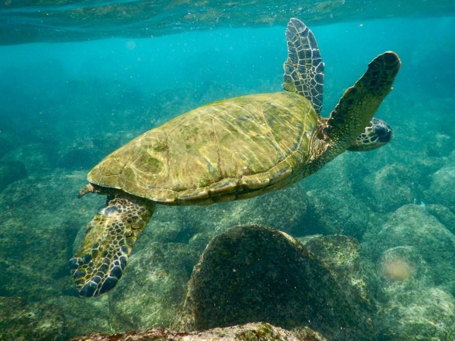 A turtle at Koloa Landing.
