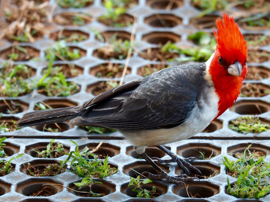 A Red-crested cardinal, one of the many bird species in Kauai