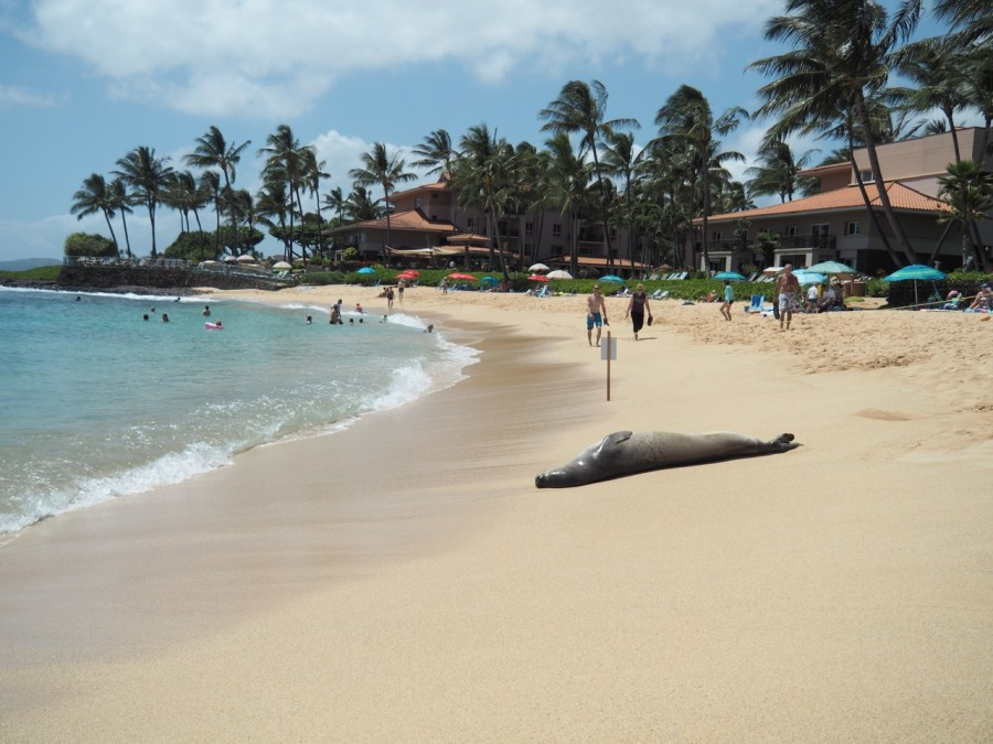 An endangered Monk Seal resting on Poipu beach.