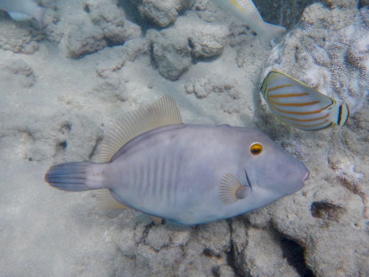 A Barred Filefish at Hanauma Bay.
