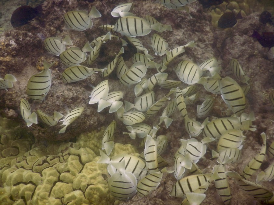 Convict Tangs at the Ahihi-Kina'u Natural Area Reserve.