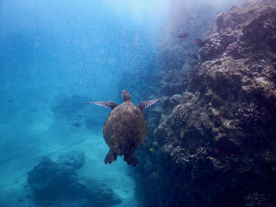 A turtle at the Ahihi-Kina'u Natural Area Reserve.