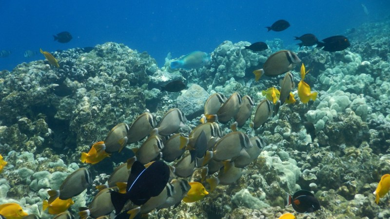 A school of Whitebar Surgeonfish.