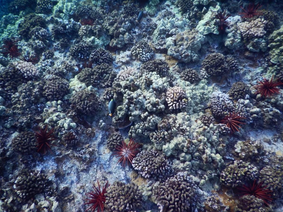 Corals life at Molokini.
