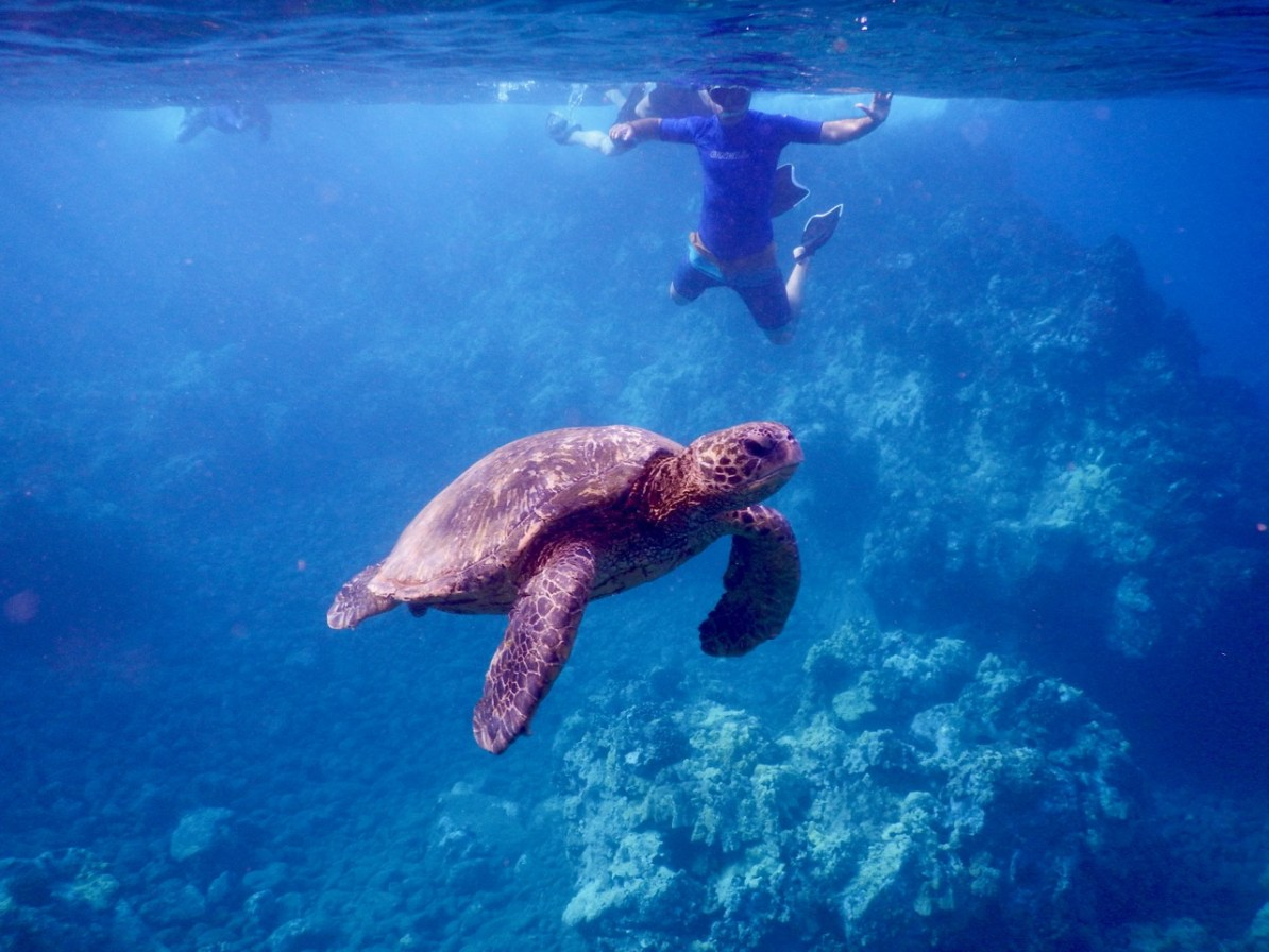 Snorkelling with turtles at Molokini.