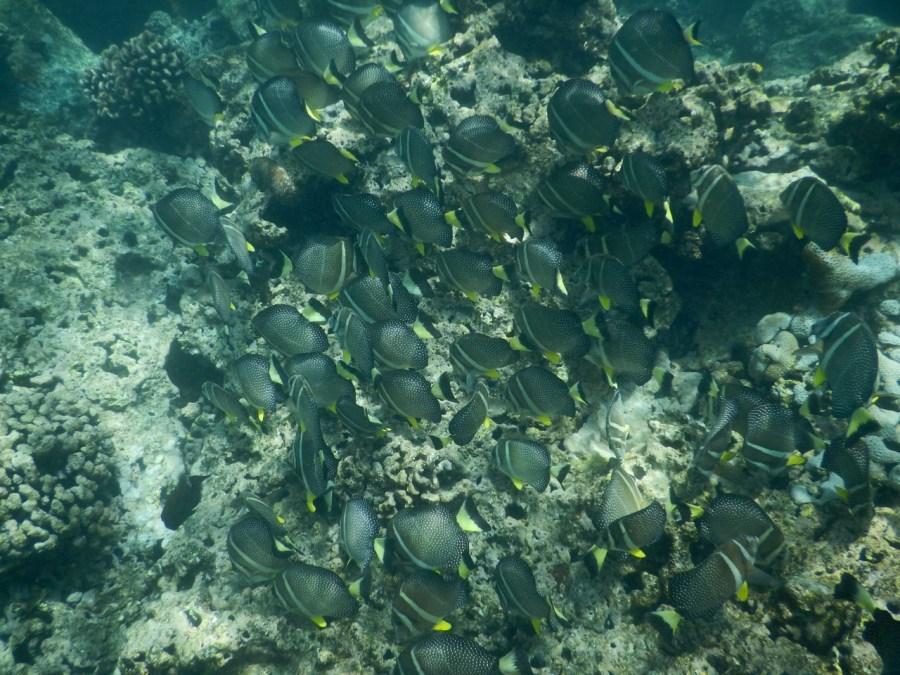 A school of Surgeonfish in Hanauma Bay.