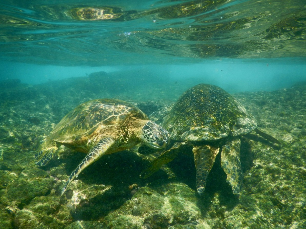Two turtles at Lawaii Beach.