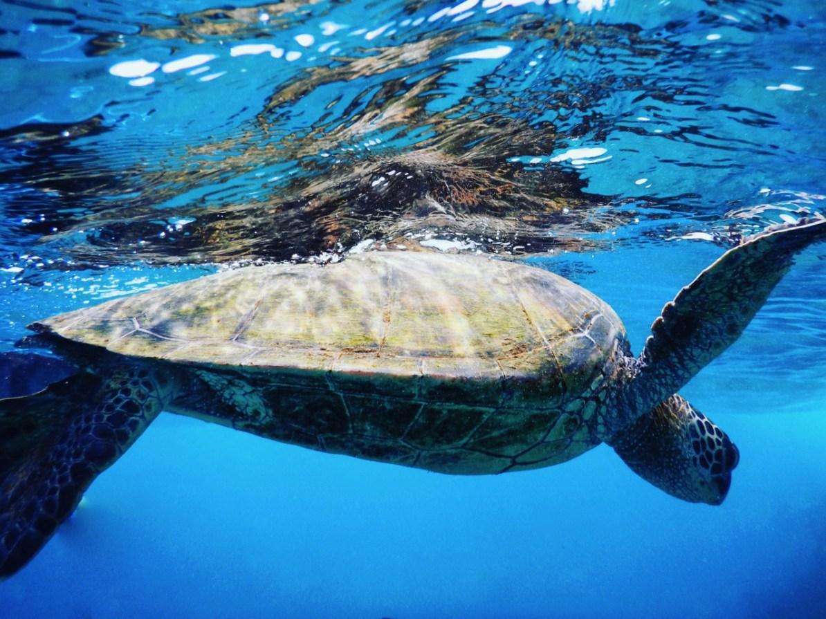 One of the many turtles at Keawakapu Beach, Maui.
