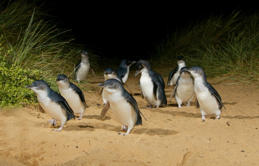 Phillip Island's famous Penguin Parade. Image by Visit Victoria.