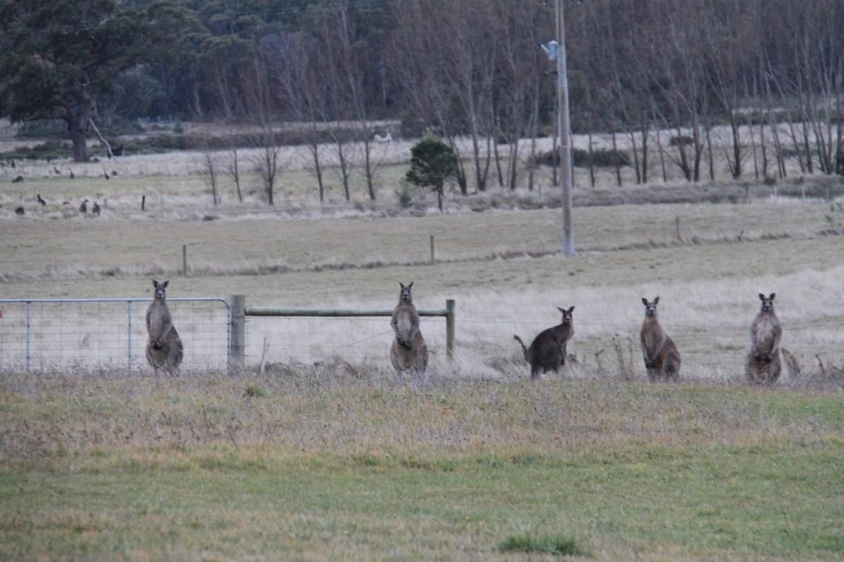 Kangaroos in the paddock of Hollow Log Estate.