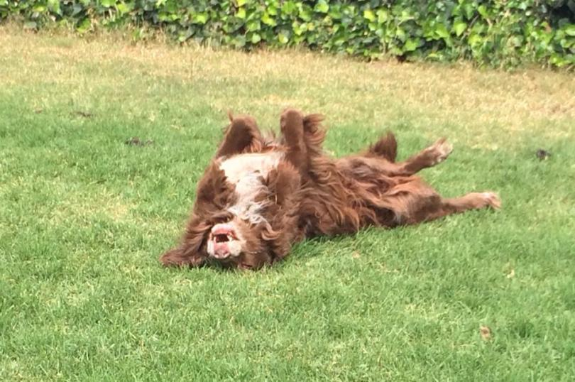 My elderly spaniel Artie rolls in the sunny backyard. The sudden move to a cold climate has taken a terrible toll; he can barely walk now.