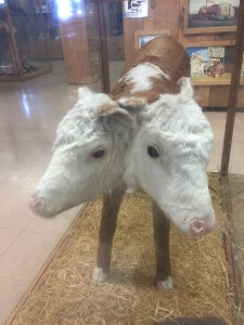 Conjoined Twin Calves