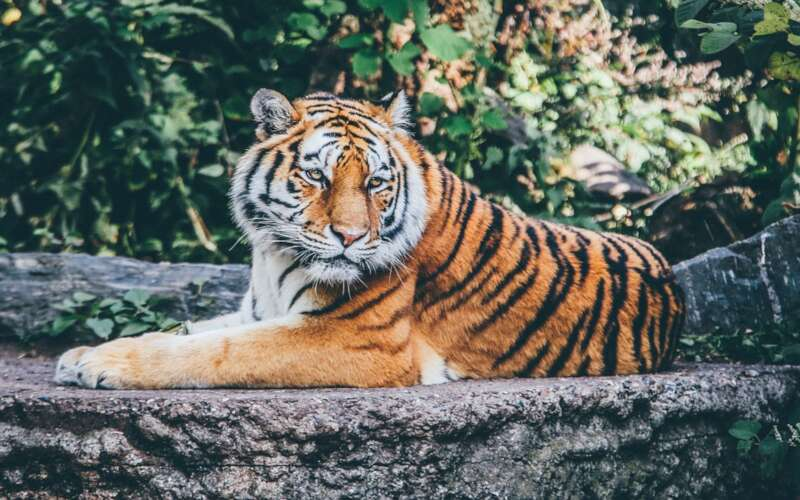 Wildkatze im Berliner Zoo