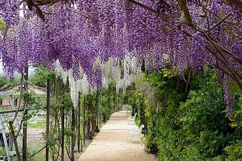 Wisteria Sinensis Growing Tips For Wisterias
