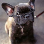 How To Potty Train Your French Bulldog French Bulldog Breed