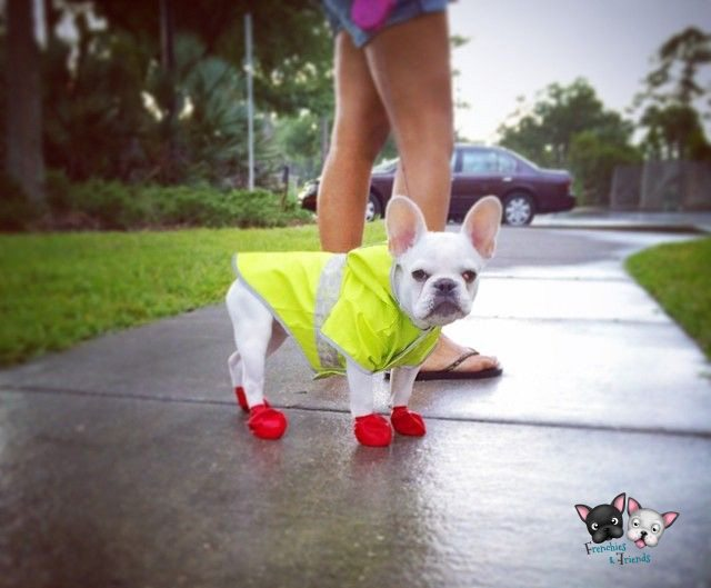 bulldog-frances-lluvia