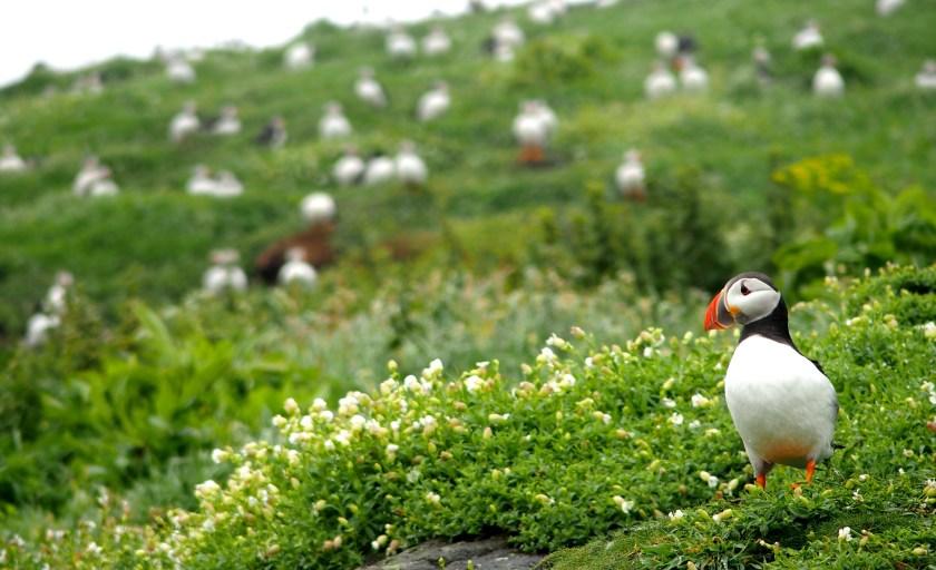 Ecosse : Immersion chez les macareux sur l'île de May