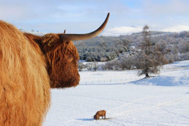 Les vaches des Highlands dans le domaine de Rothiemurchus
