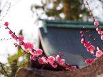 Kyoto, kimono sous les pruniers du sanctuaire Kitano Tenmangu