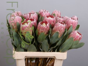 Protea Penny Pink