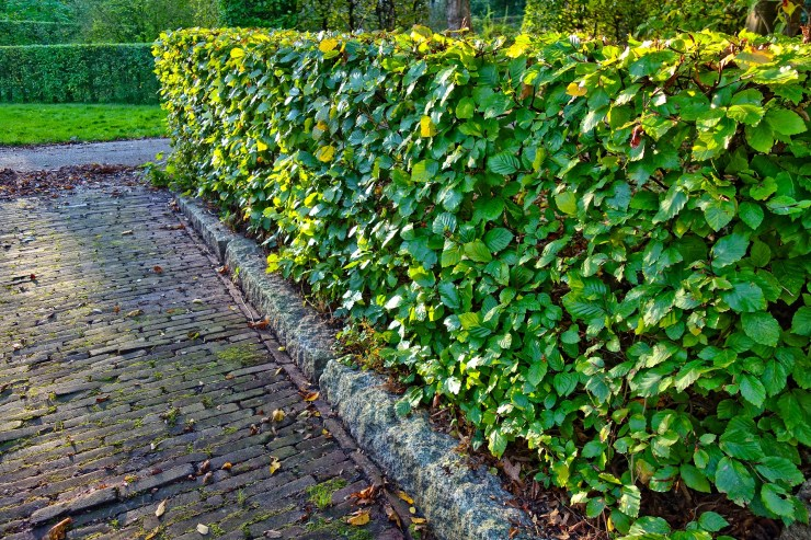 Plant a hedge to improve your garden privacy