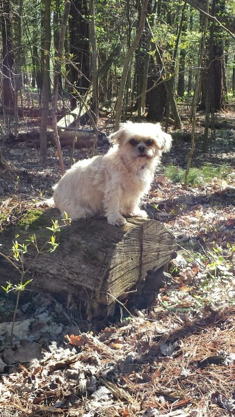 Suki dog sitting on a log in the woods camping