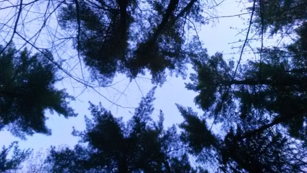 canopy of trees silhouetted in dusk sky
