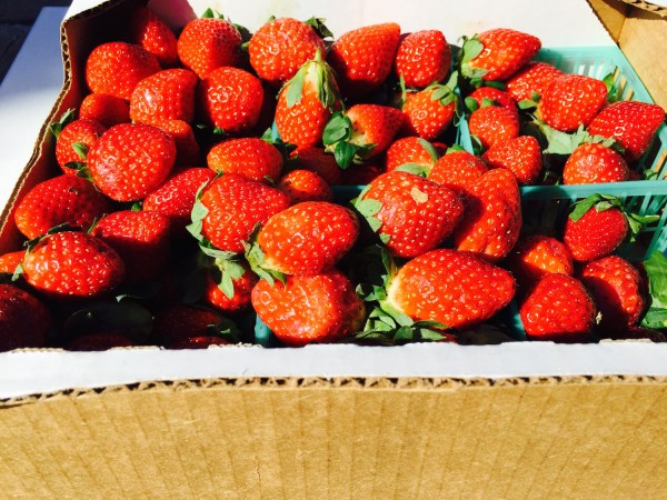Fresh From Florida Strawberry Season